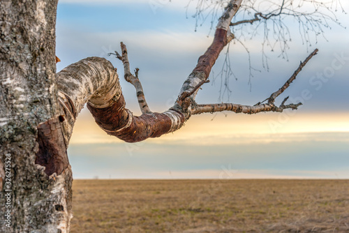 A branch of birch against the backdrop of a spring field lit by sunset. Selective focus