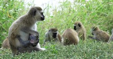 A Family Of Monkeys Eats Grass
