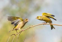 Battle Between Two European Greenfinch (Chloris Chloris) On A Branch.