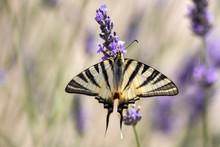 A Scarce Swallowtail (Iphiclid...