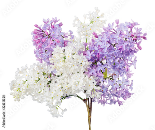 bunch from white and violet lilac branches on white