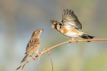 European Goldfinch (Carduelis ...