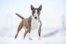 Miniature Bull Terrier Dog In ...