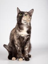 Beautiful Tricolor Cat Is Sitt...