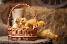 Group Of Small Ducklings Are Sitting In Basket That Stands On A Wooden Surface.