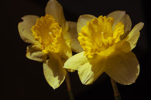 Two Yellow Daffodils Closeup I...