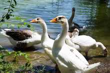 Beautiful White Geese And Duck...