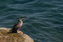 Young Cormorant Next To The Sea In Cadiz