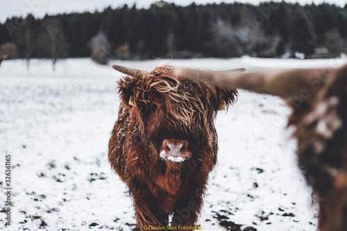 Fototapeta Highlander