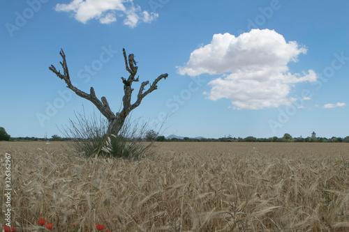 Leinwand Poster Paisaje de un campo de alpaca, balas de paja y un arbol seco