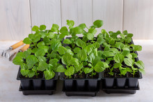 Aster Flower Seedlings In A Bl...