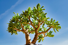 Bonsai Style Of A Crassula Ovata Gollum Succulent Plant. Blue Sky Background.