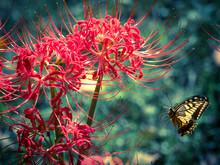 彼岸花 Spider Lily 3