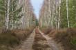 Gruntowa droga przez młody, brzozowy las.