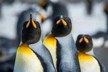 Close-up Of Three King Penguin...