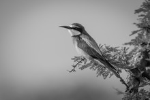 Mono European Bee-eater On Branch In Profile