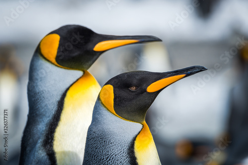 Fototapety, obrazy: Close-up of two king penguins looking ahead