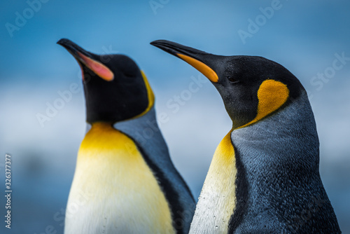Fototapety, obrazy: Close-up of two king penguins standing side-by-side