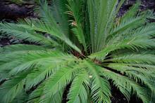 Palmfarn (Cycas Revoluta) Zierpflanze, Blätter