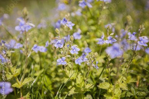 Obraz na plátně Spring flowers on the field
