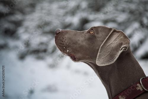 Photo Portrait von einem Weimaraner Jagdhund