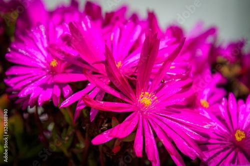 Lila Blüte einer Mittagsblume, Delosperma in Großaufnahme
