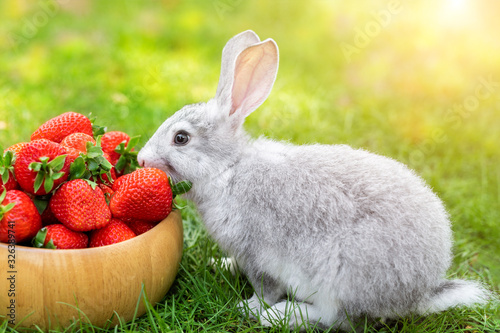 Cute beautiful gray fluffy rabbit sitting on green grass lawn backyard and smell, eat and tasting ripe red strawberry in wooden bowl Canvas Print