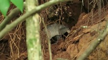 Armadillo Looking For Food In ...