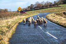 Herd Of Sheep Is Crossing Stre...