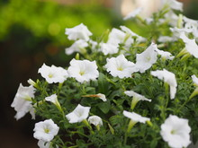 Petunia Easy Wave Color White ...