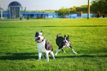 Two Funny Dogs Playing Together In A Spring Public Park. American Staffordshire Terriers Male And Female. Sunny Day. Selective Focus On One Dog