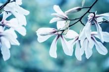 Blossoming Of Magnolia White F...