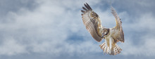 Osprey Flying Overhead Searching For Food. Sized To Fit For Cover Image On Popular Social Media Site