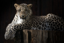 Male Leopard Resting Under The...