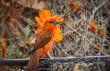 Sanhaçu De Fogo, Piranga Flava. The Hepatic Tanager Is A Passerine Bird In The Family Cardinalidae.
