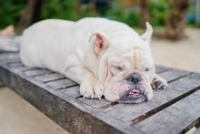 Cute White English Bulldog Sleeping Outdoor.