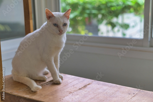 Diamond Eye cat ( Khao Manee ) is a rare breed of cat originating in Thailand, which has an ancient ancestry tracing back hundreds of years Canvas Print