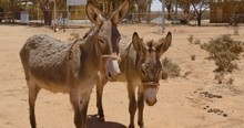 A Pair Of Calm Donkeys In The Middle Of The Ghost Town Of Silverton, Outback Australia