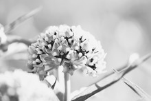 Antelope Horn Milkweed Flower Bloom Close Up In Black And White, Blurred Background.