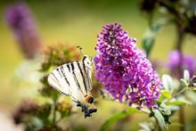 Scarce Swallowtail, Iphiclides Podalirius, Large Butterfly Sitting On Purple Flower
