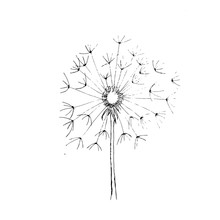 Dandelion - Hand Drawing Illus...
