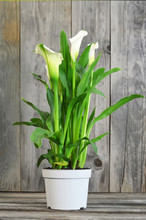White Calla Lily In Flower Pot On Wooden Background
