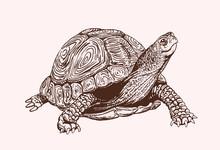Graphical Vintage Sketch Of Tortoise, Vector Sepia Illustration