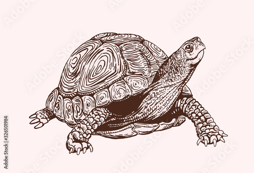 Canvas Print Graphical vintage sketch of tortoise, vector sepia illustration