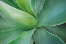 Aloe Vera Agave Plant Close Up...