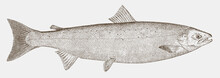 Atlantic Salmon, Salmo Salar, ...