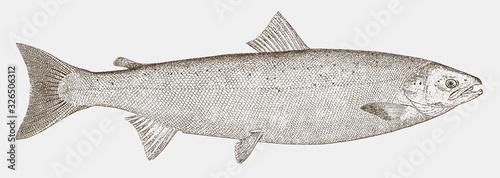 Cuadros en Lienzo Atlantic salmon, salmo salar, a threatened fish from the northern Atlantic Ocean