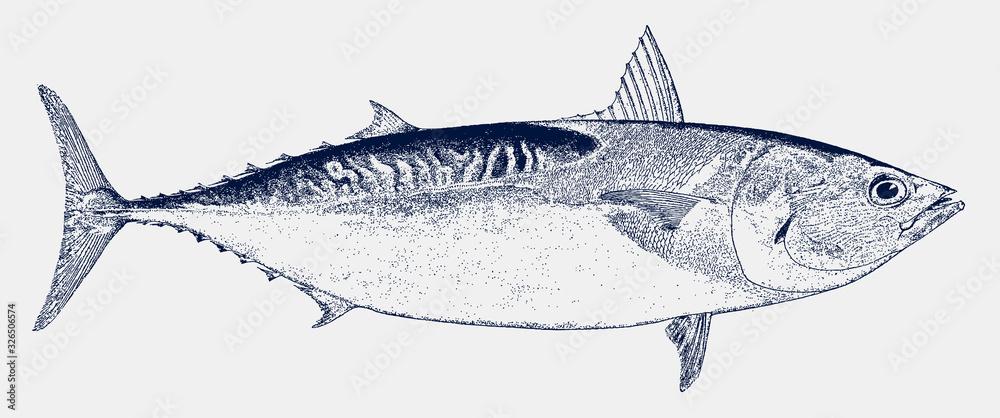 Fototapeta Atlantic bluefin tuna, thunnus thynnus, an endangered food fish in side view