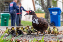 A Protected Female Muscovy Duc...