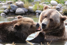 Brown Grizzly Bear Closeup Pla...
